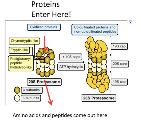 Proteasome Protease Machine