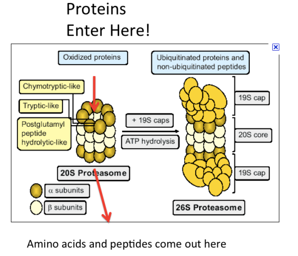 Proteasome Protease Machine