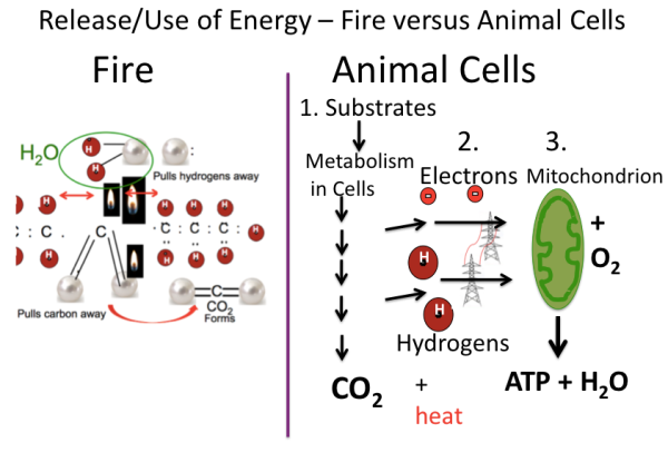 Fire versus Animal cells 1-2015